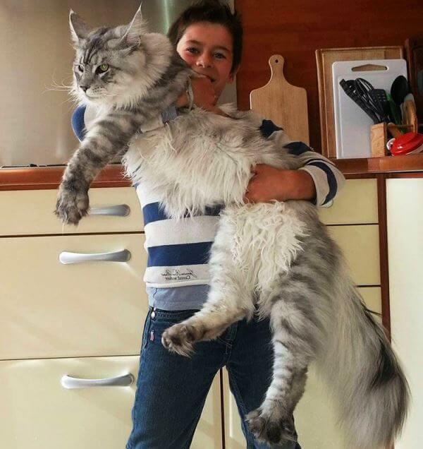 raza-gato-más-grande-maine-coon.jpg